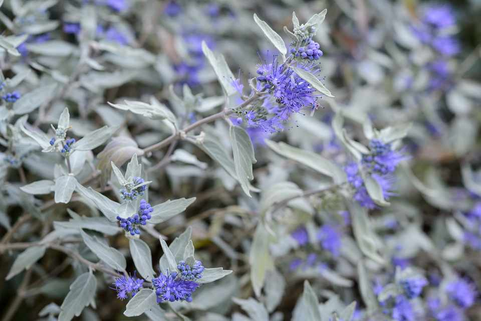 Silvery foliage and blue flowers of bluebeard, Caryopteris x clandonensis