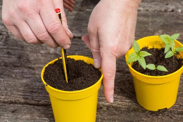chilli-seedlings-2