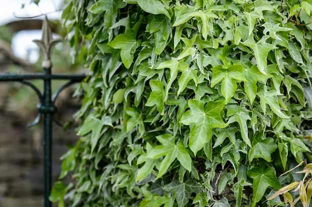 best-shrubs-for-butterflies-ivy-2