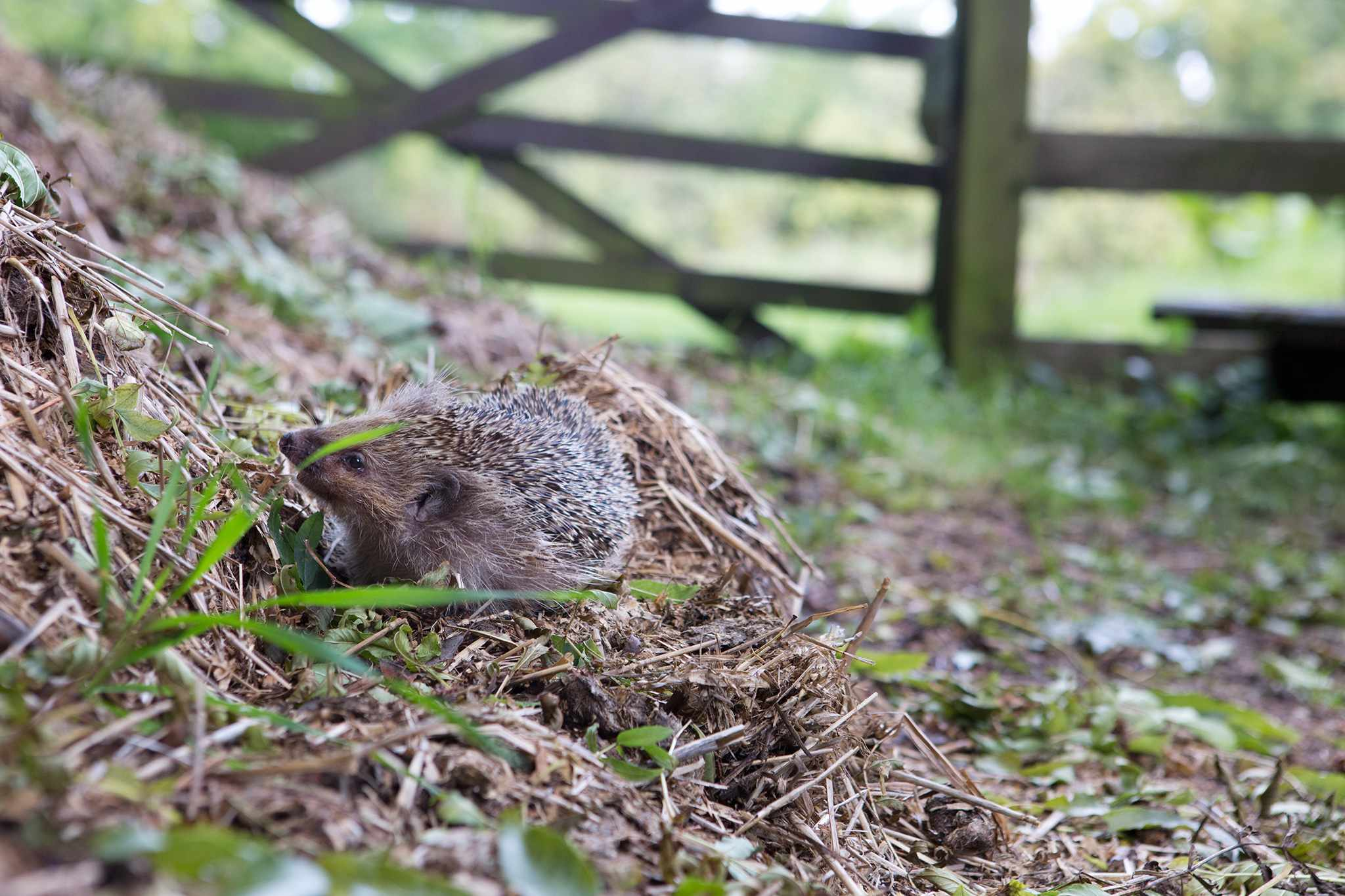 Hedgehog and compost heap
