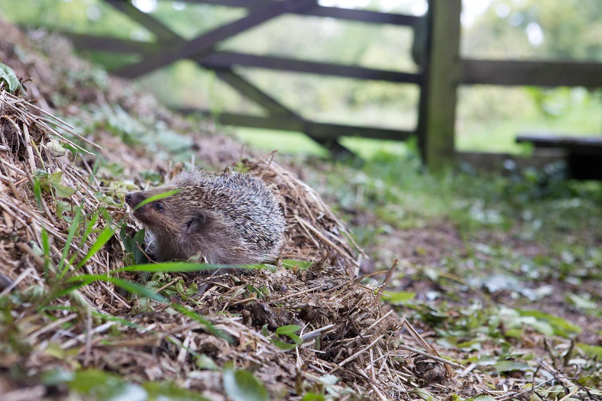 A hedgehog exploring a compost heap