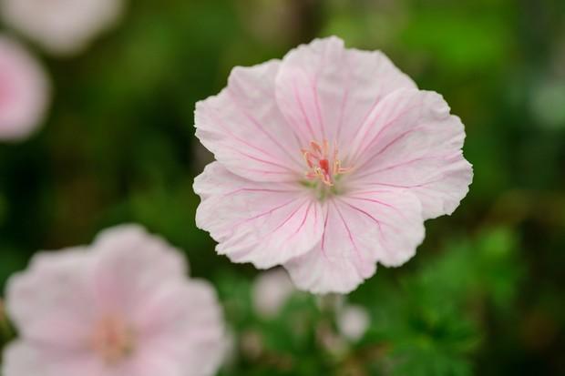 geranium-sanguineum-var-striatum-8