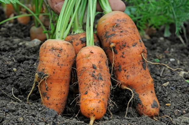 Pulling up a bunch of carrots