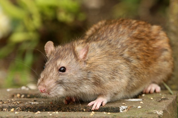 A rat in a garden (photo credit Getty Images)