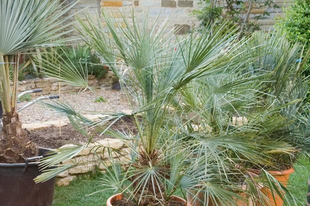hardy-palms-2