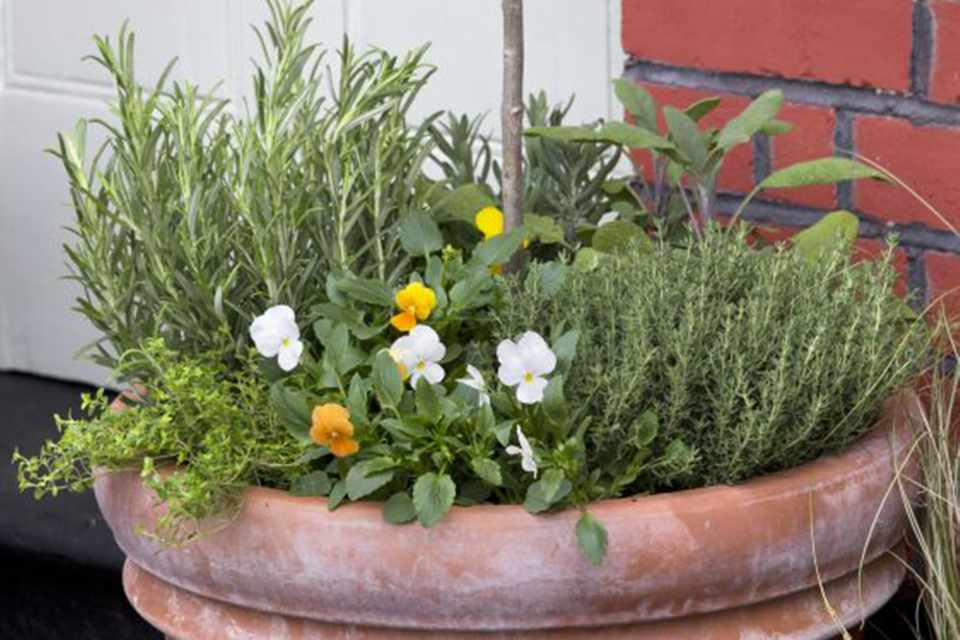 Pansy, thyme and olive pot display