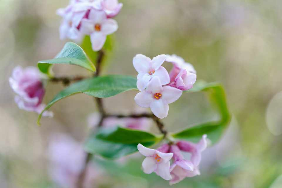 Five Scented Plants For March Gardenersworld