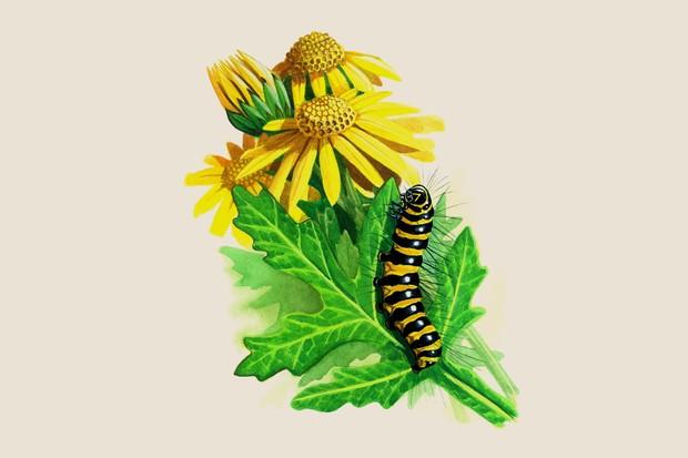 cinnabar-moth-tyria-jacobaeae-2