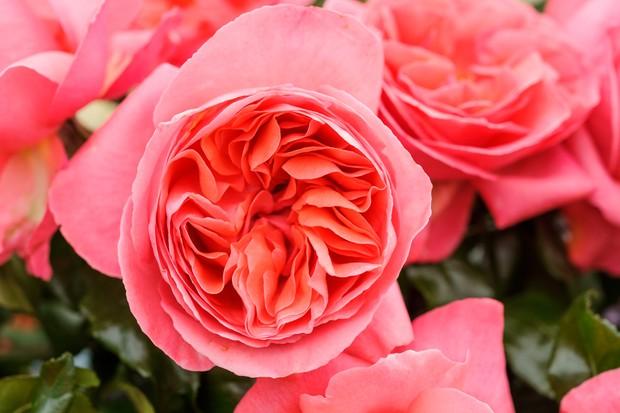 rosa-special-anniversary-4
