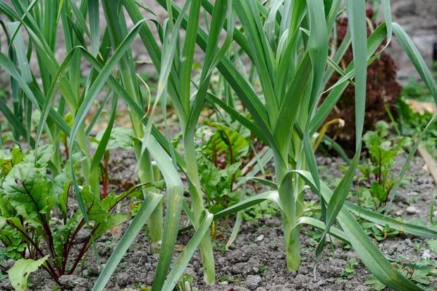 Leek 'Kingston' growing in a veg patch
