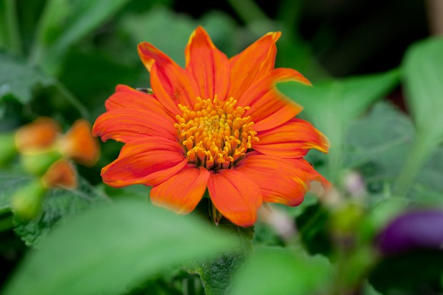 mexican-sunflowers-3