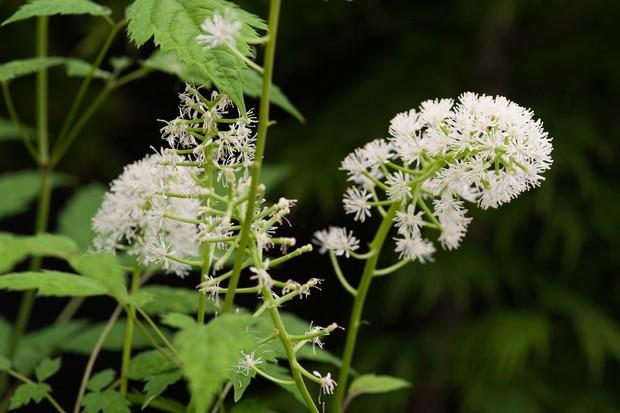 white-baneberry-actaea-pachypoda-flowers-2