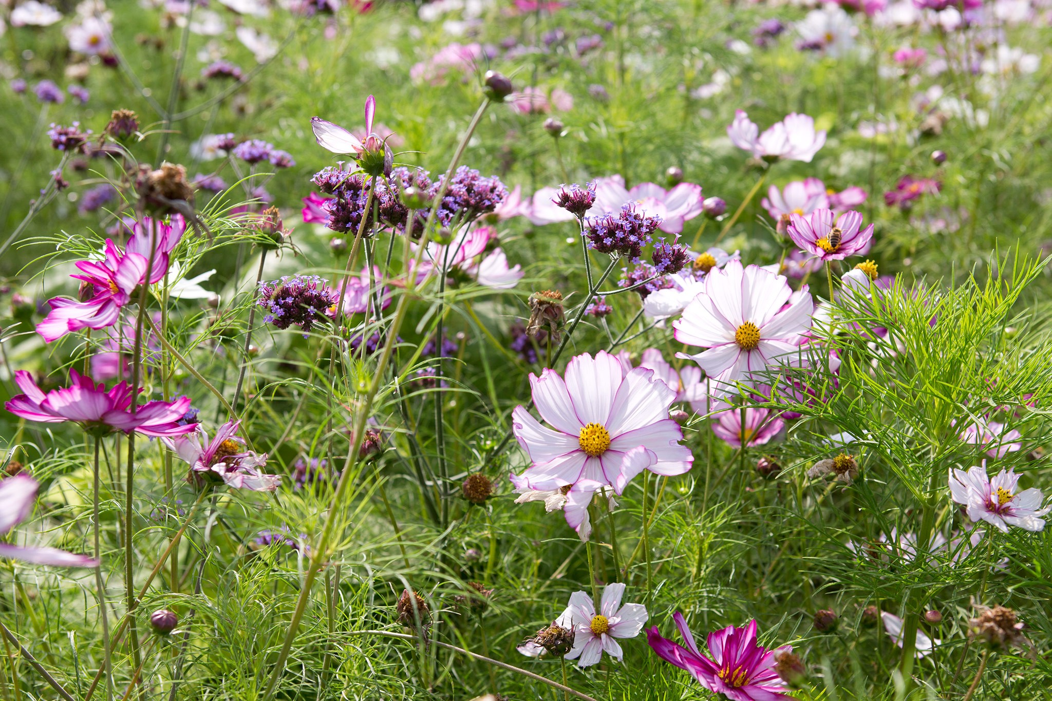 Meadow with cosmos