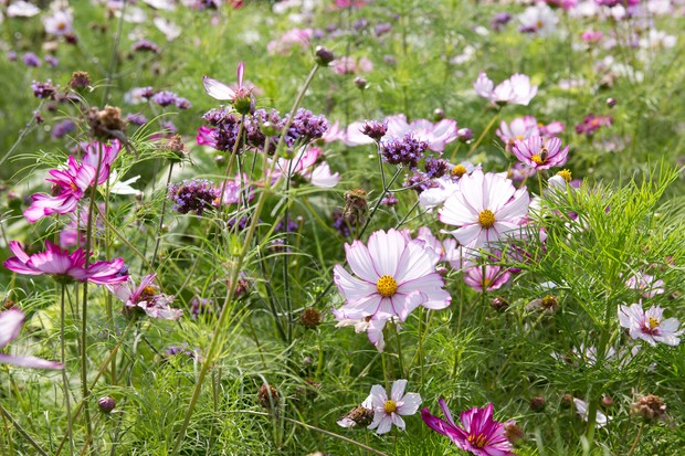 meadow-with-cosmos-3