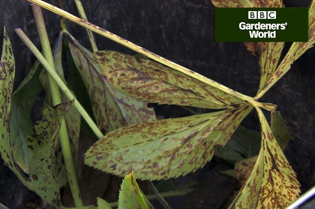 How to tackle hellebore leaf spot