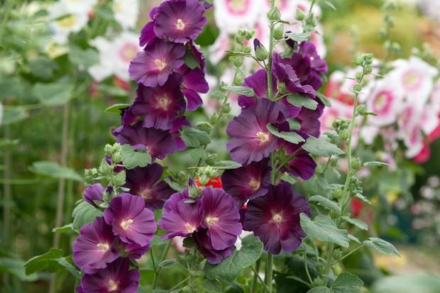 Deep-purple blooms of hollyhock 'Halo Lavender'