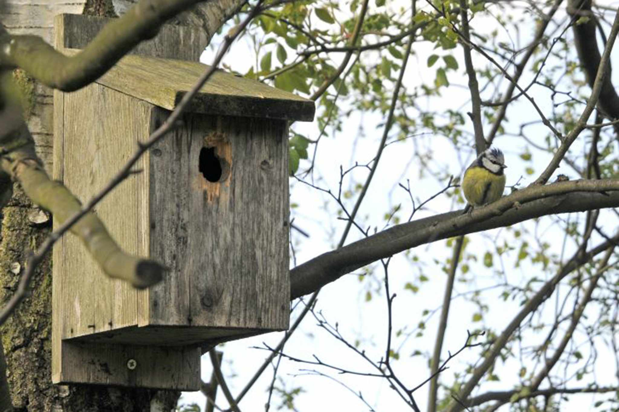 A blue tit perched near a nesting box