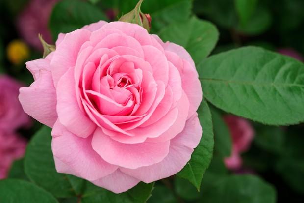 Pink Rosa 'Gertrude Jekyll'