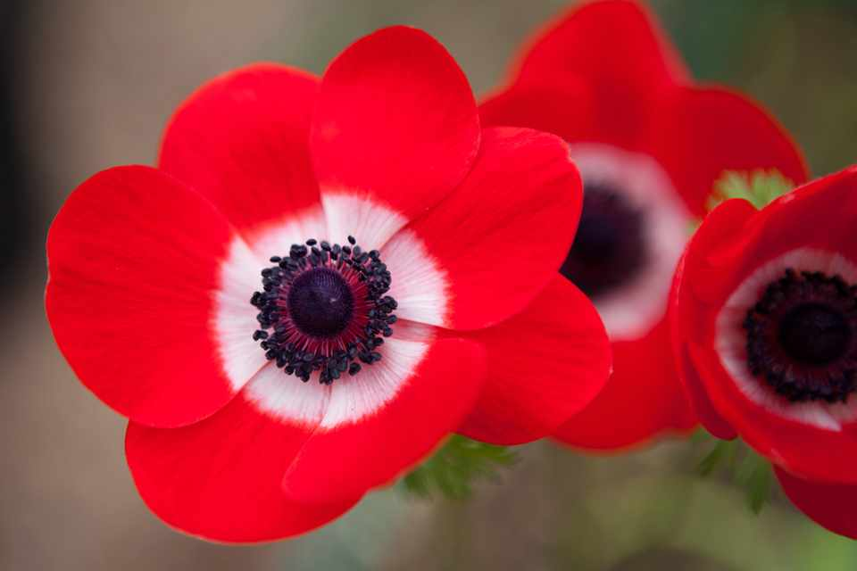 Red anemone flowers with white centres