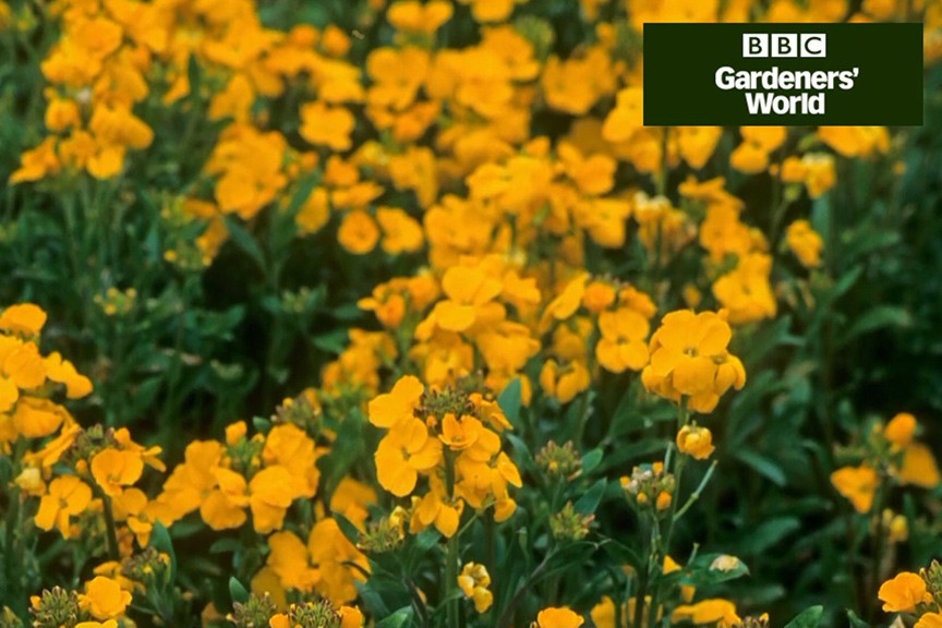 How to plant bedding wallflowers in autumn video