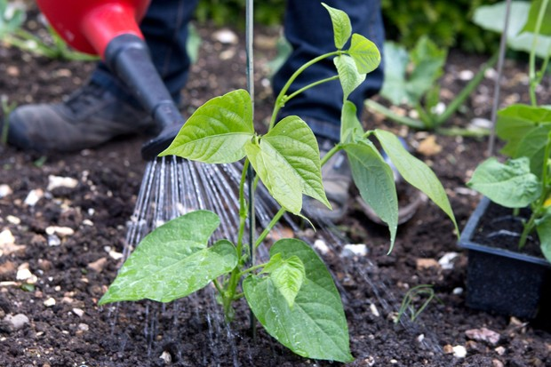 How to plant out French beans - watering the plants