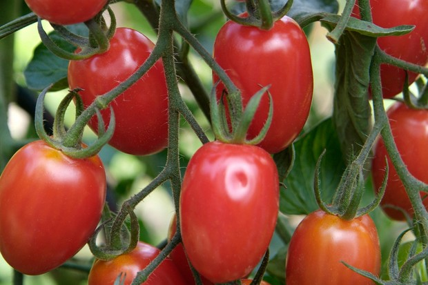 tomato-rosada-3