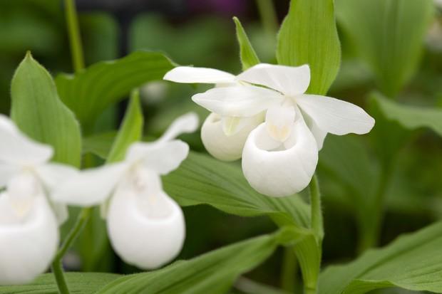 cypripedium-orchid-3