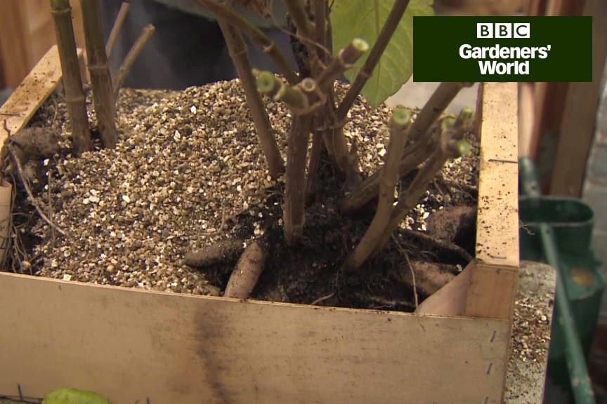 How to Store Dahlias and Cannas Over Winter (Video) - BBC