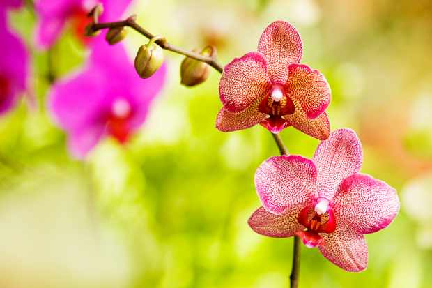 Phalaenopsis Orchids – Grow Guide