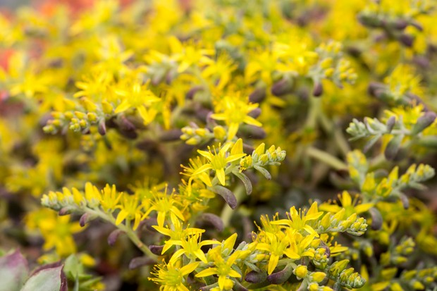 Starry golden flowers of sedum 'Purpureum'