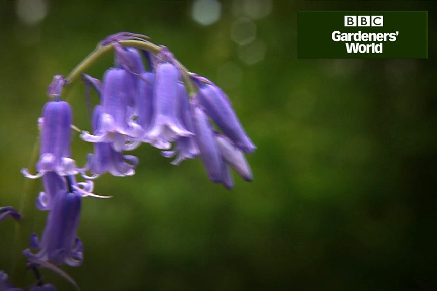How to plant bluebells in grass video