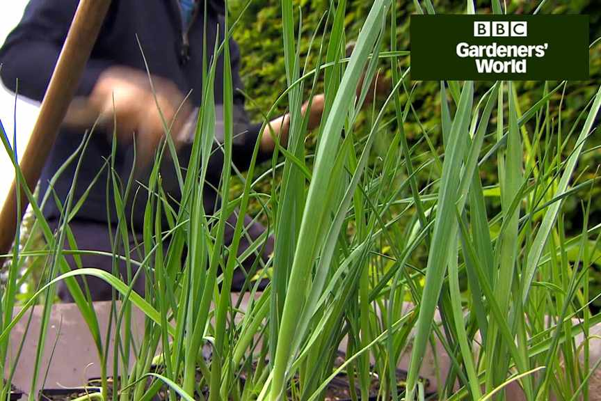 How to plant leeks in clumps video
