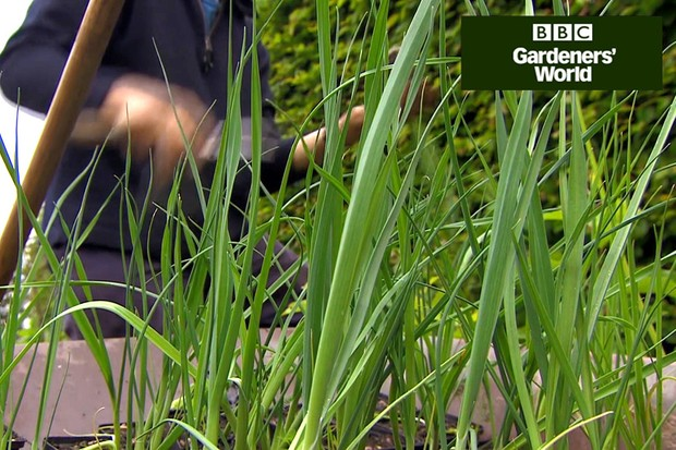 How to plant leeks in clumps
