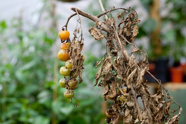 A blighted tomato crop