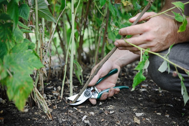 Pruning out an unwanted cane, at ground level