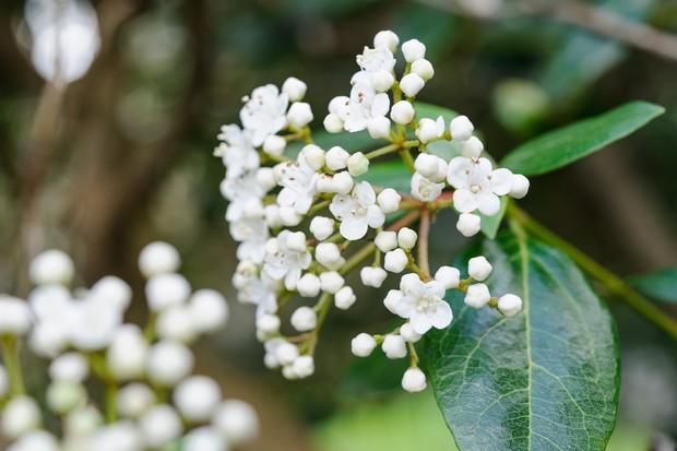 viburnum-tinus-6