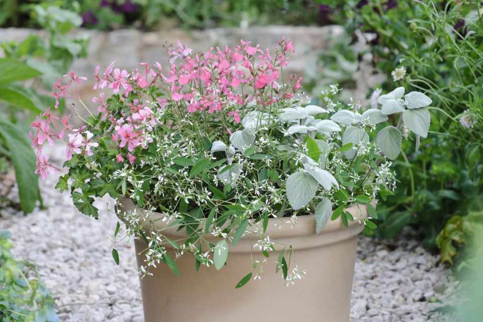 Pelargonium, euphorbia and salvia pot display