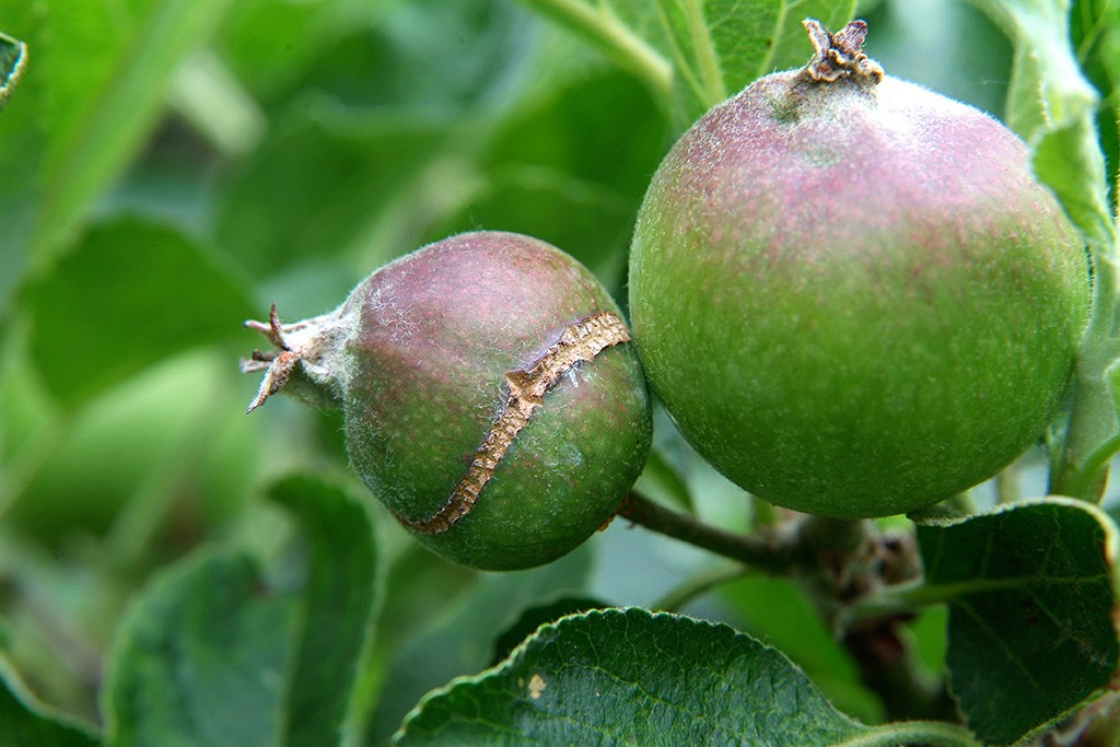 A ripening apple with a ring of scar around it caused by cracking
