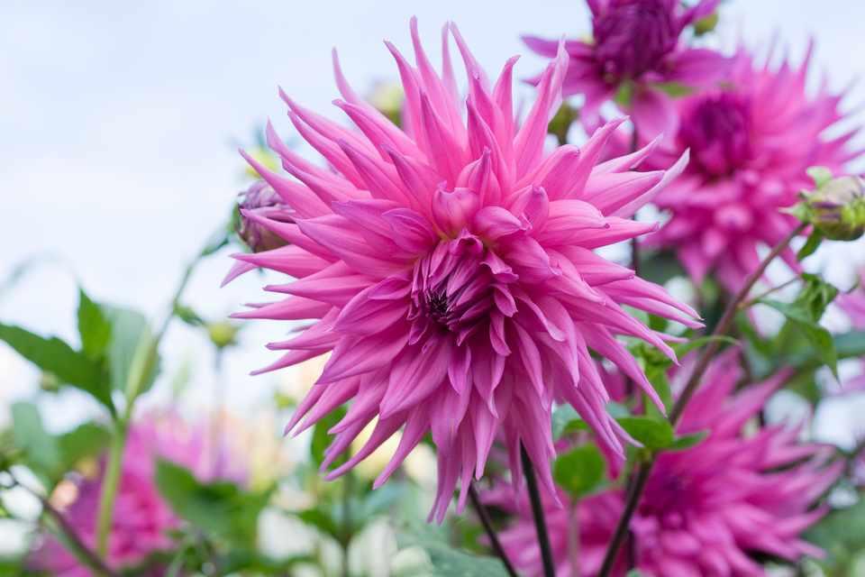 Dark-pink, large flowers of cactus dahlia 'Reputation'
