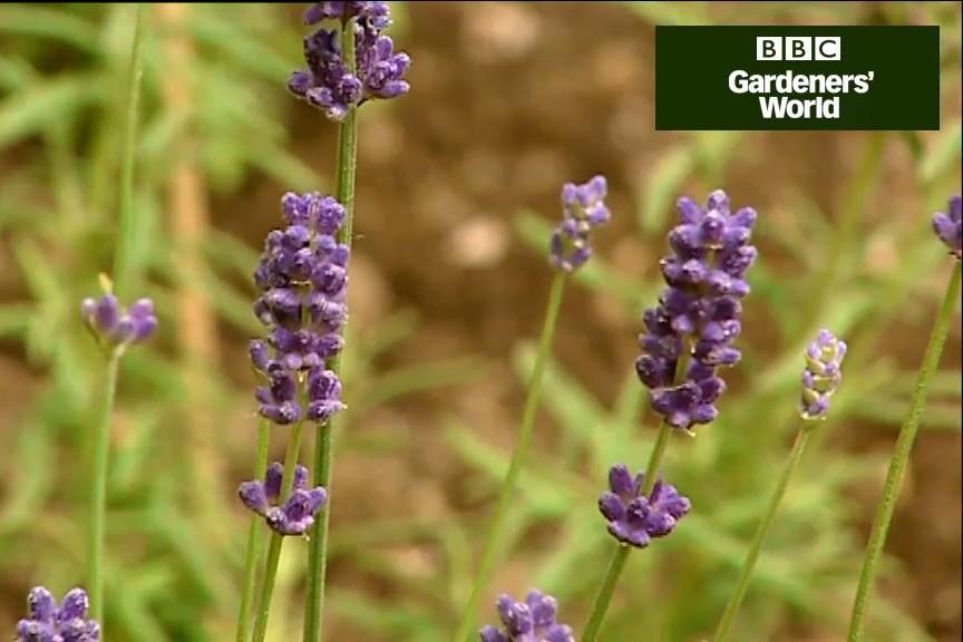 How to create a lavender garden video