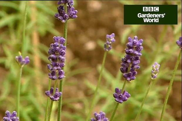 How to create a scented lavender garden