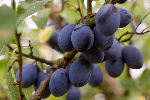 Damsons ripe for harvesting