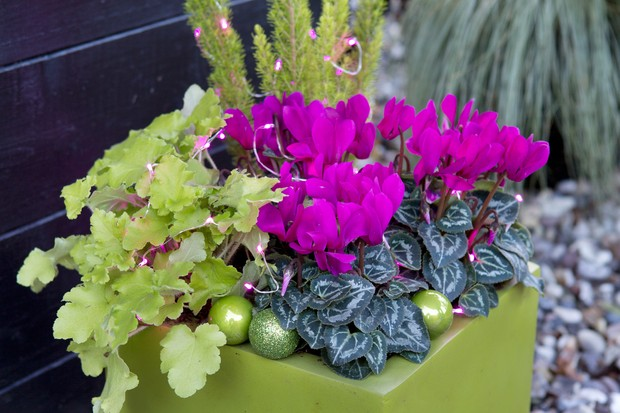 heuchera-and-cyclamen-christmas-pot-2