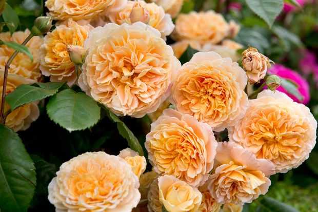 climbing-rose-rosa-crown-princess-margareta-3