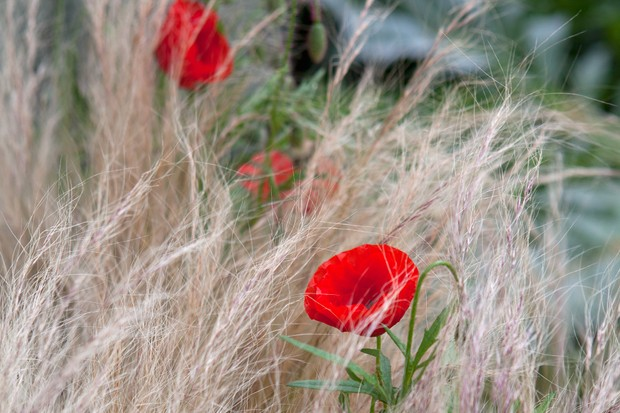 Red corn poppies set in wispy grass