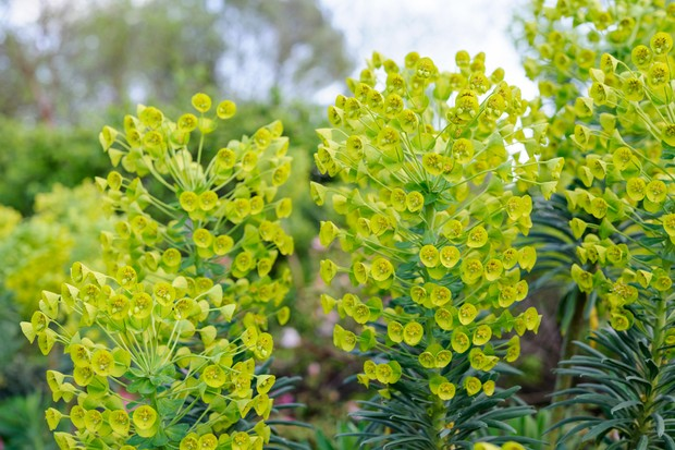 Euphorbia characias subsp. wulfenii 'Lambrook Gold'