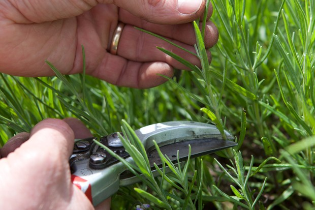 snipping-off-rosemary-leaves-2