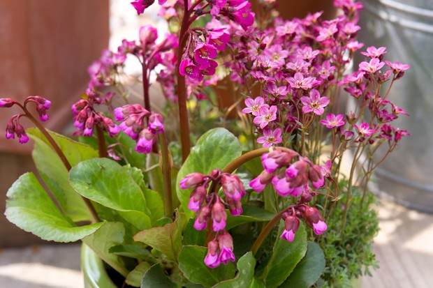Bright-pink bergenia planted with saxifrage