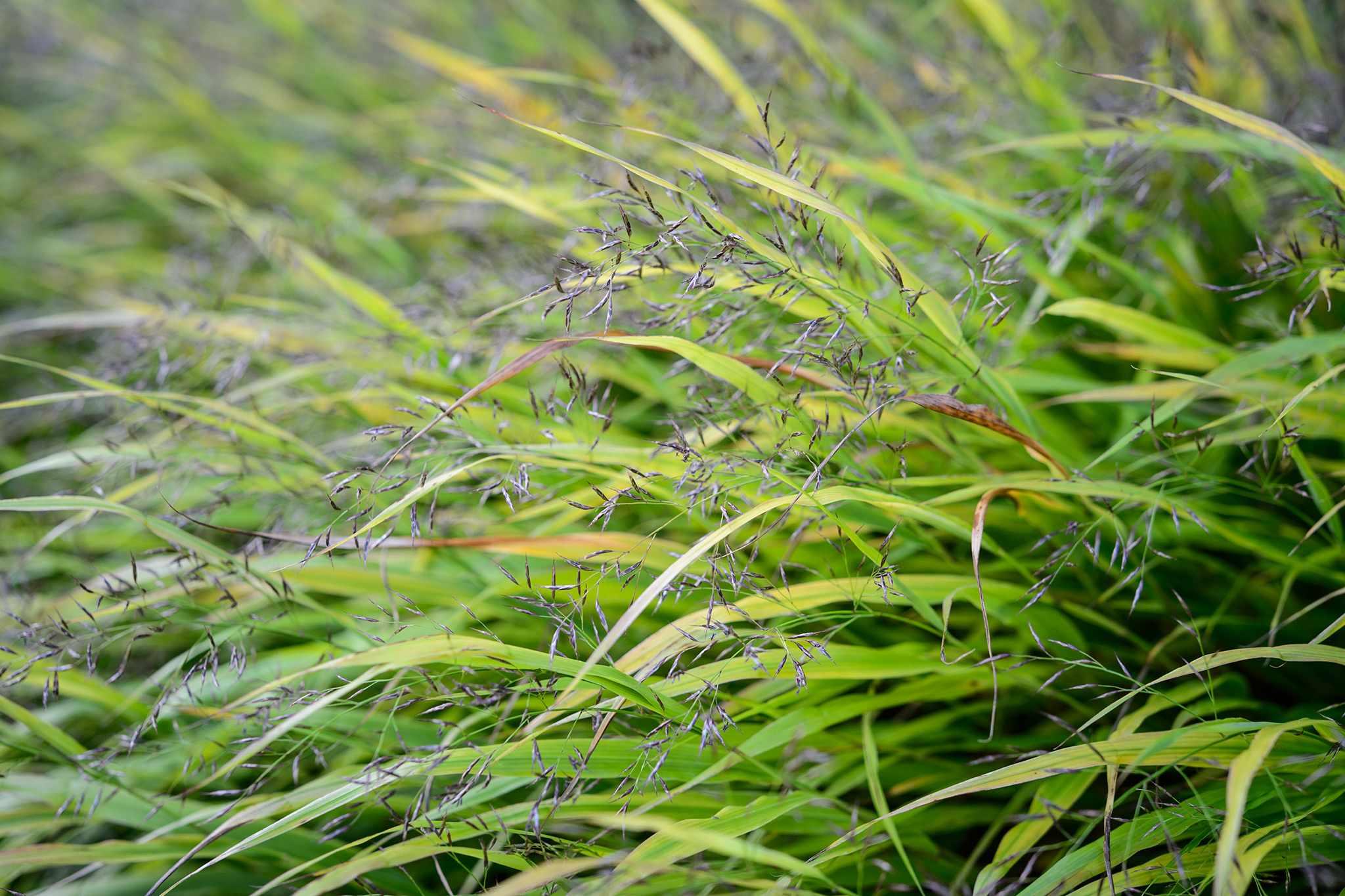 Lush foliage and delicate flowers of grass Hakonechloa macra