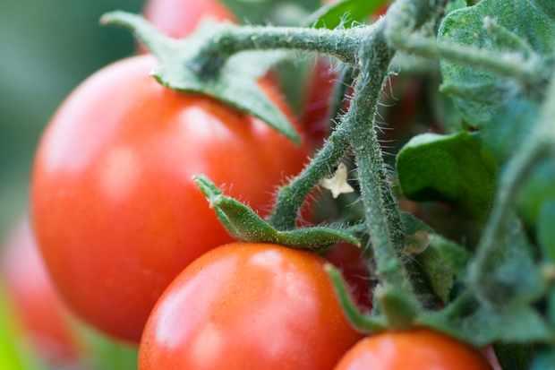 bush-tomato-gartenperle-3